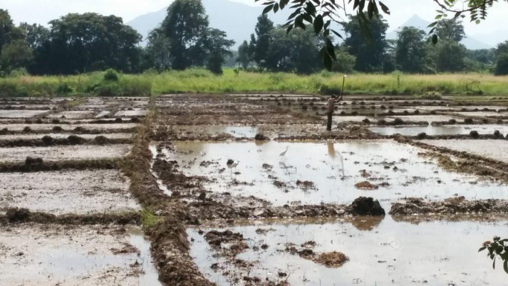 Le riz au Sri Lanka 2