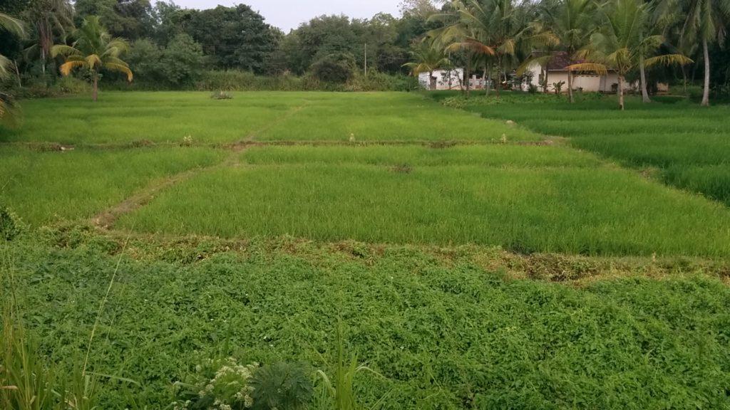Le riz au Sri Lanka 4