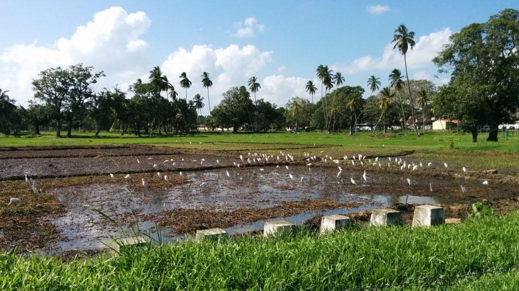 Le riz au Sri Lanka 3