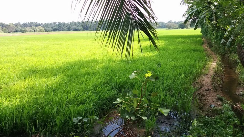 Le riz au Sri Lanka 5